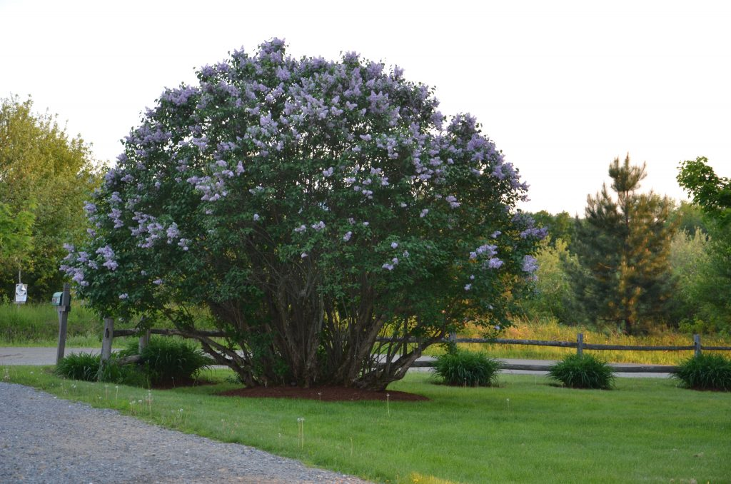 Lilacs in June