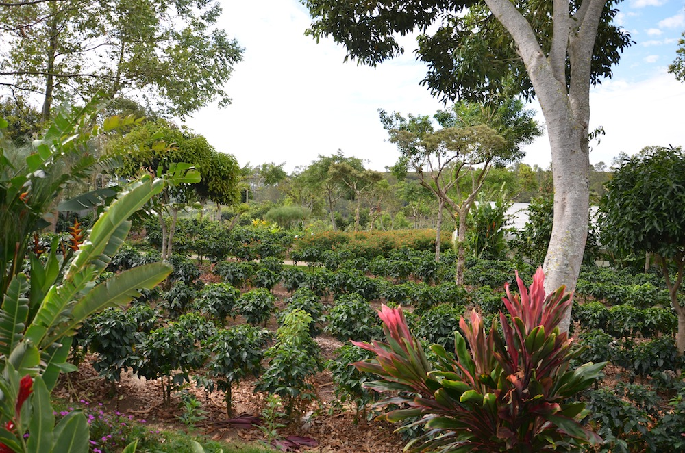 Doka Coffe plantation